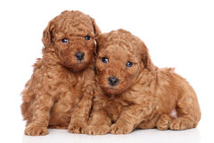 Poodle puppies (30 days) on a white background Royalty Free Stock Image