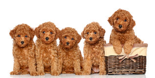 Poodle puppies with basket Royalty Free Stock Image