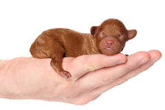 Poodle puppy (2 day) lies in hand Stock Photo