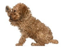 Poodle puppy, 2 months old, with paw up sitting Royalty Free Stock Photos