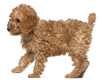 Poodle puppy, 2 months old, standing Stock Photo
