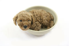 Poodle puppy stock image