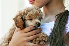 Poodle puppy. Puppy of a poodle in hands of the mistress Royalty Free Stock Photos