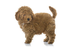 Free Poodle Puppy Stock Photography - 49633062