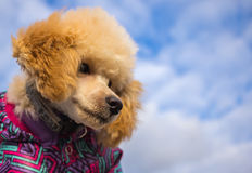 Poodle puppy , against the sky with clouds.pet. Poodle puppy with clothes, against the sky with clouds.pet Stock Photos