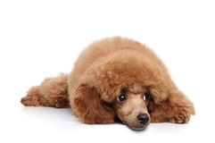 Poodle Puppy on banner Royalty Free Stock Images