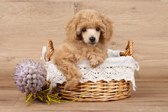 Poodle puppy in basket. Apricot Poodle puppy in basket on a wooden background royalty free stock images