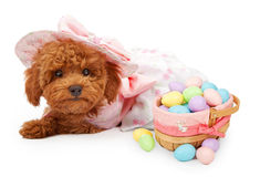 Poodle Puppy with Basket of Easter Eggs. An Adorable red Poodle puppy wearing a pink Easter dress and bonnet laying against a white backdrop with a basket of Royalty Free Stock Image