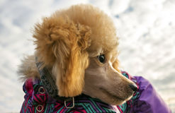 Poodle puppy with clothes, looked back. pet. Poodle puppy with clothes, looked back  close-up. pet Stock Images