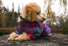 Poodle puppy clothes, looking for his master lying on a tree stu. Poodle puppy clothes, looking for his master's eyes while lying on a tree stump Royalty Free Stock Images