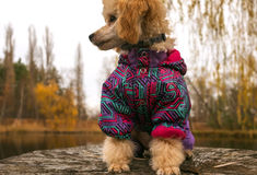 Poodle puppy clothes, looking for his master sitting on a stump. Poodle puppy, looking for his master sitting on a stump Stock Photo