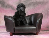 Poodle puppy Stock Photos
