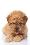 Poodle puppy dog with tongue out Stock Photos