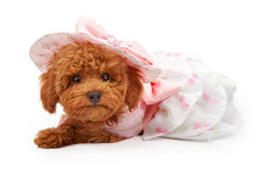 Poodle Puppy in an Easter Dress and Bonnet. An Adorable red Poodle puppy wearing a pink Easter dress and bonnet laying against a white backdrop Royalty Free Stock Images
