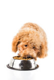 Poodle puppy eating kibbles from a bowl in white background Stock Images