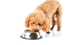 Poodle puppy eating kibbles from a bowl in white background Stock Photography