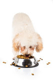 Poodle puppy eating kibbles from a bowl in white background Royalty Free Stock Images