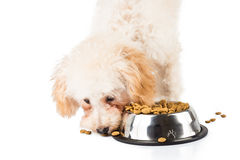 Poodle puppy eating kibbles from a bowl in white background Stock Photos
