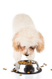 Poodle puppy eating kibbles from a bowl in white background Royalty Free Stock Image