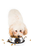Poodle puppy eating kibbles from a bowl in white background Royalty Free Stock Photography