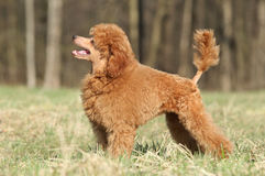 Poodle puppy on green grass. Playful Toy poodle puppy posing on green grass royalty free stock images