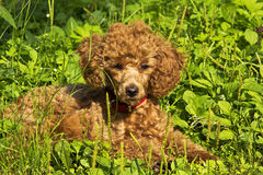 Poodle puppy lies on the grass. July. The red miniature poodle puppy lies on the green grass Stock Photo