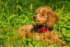 Poodle puppy lies on the grass. July. The red miniature poodle puppy lies on the green grass Stock Image