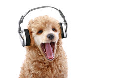Poodle puppy listening music on headphones. Apricot poodle puppy listening to music on headphones, isolated on white background royalty free stock image