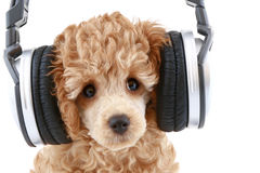 Poodle puppy listening to music. Apricot poodle puppy listening to music on headphones, isolated on white background royalty free stock images
