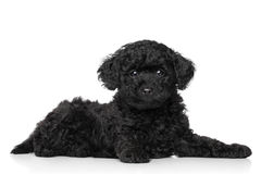 Poodle puppy lying on a white background Stock Photos