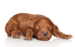 Poodle puppy (one week) Stock Photo