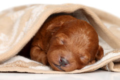 Poodle puppy (one week) warped in blanket Stock Photo
