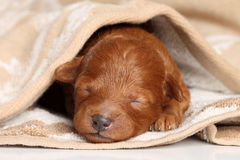 Poodle puppy (one week) warped in blanket Stock Photography