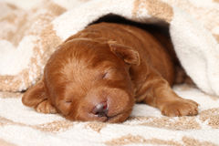 Poodle puppy (one week) warped in blanket Royalty Free Stock Photo