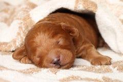 Poodle puppy (one week) warped in blanket Royalty Free Stock Photo