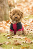 Poodle puppy. In the park Stock Photography