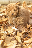 Poodle puppy. In the park Royalty Free Stock Image