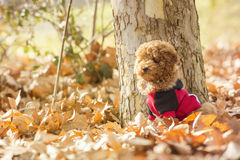 Poodle puppy. In the park Royalty Free Stock Photo