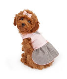 Poodle Puppy in Pink Dress. An adorable Poodle puppy wearing a pink dress white sitting against a white backdrop and looking over her shoulder Stock Image