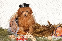 Poodle puppy red color in pirate cap. On the background of fishing nets. Baby animal theme royalty free stock photography