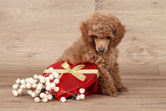 Poodle puppy with red heart Stock Image