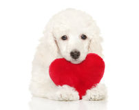 Poodle puppy with red valentine heart Royalty Free Stock Images