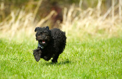 Poodle puppy running happily. Royalty Free Stock Photo