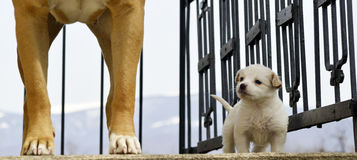 Poodle puppy`s first meeting with senior amstaff Stock Photography