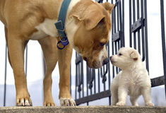 Poodle puppy`s first meeting with senior amstaff Royalty Free Stock Image