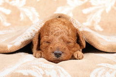 Poodle puppy (second week) sleep Royalty Free Stock Image