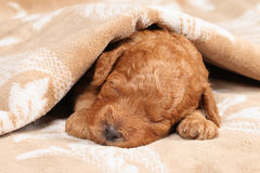 Poodle puppy (second week) sleep. In blanket. Closeup portrait Stock Photography