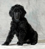 Poodle puppy Stock Photography