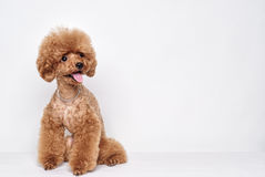 Poodle puppy studio portrait Royalty Free Stock Image