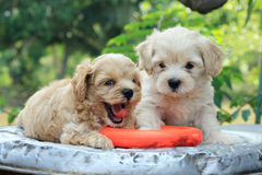 Poodle puppy and toy Stock Photo